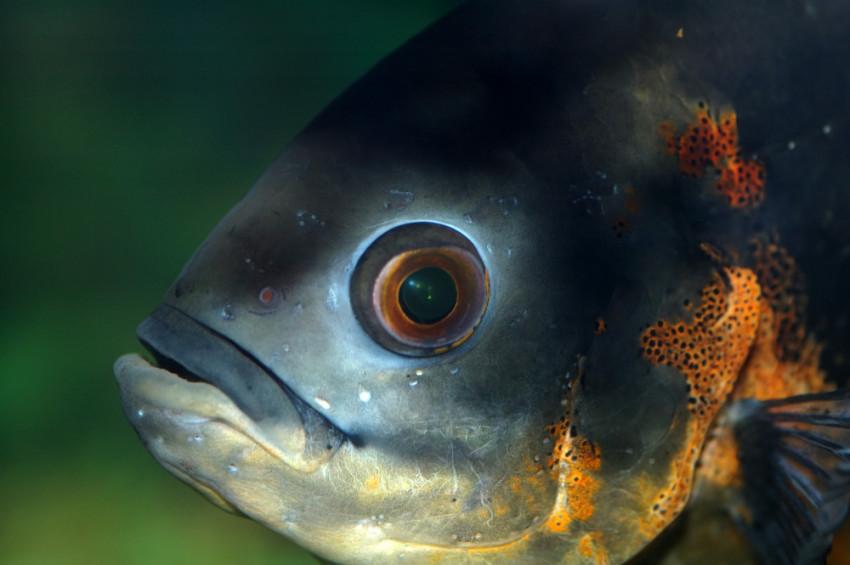 kako-ribe-cuju